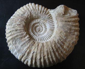 Ammonite Braincityinfo